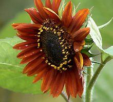 Wild Sunflower by photopassion
