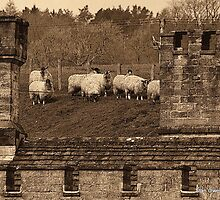 Sheep by Stan Owen