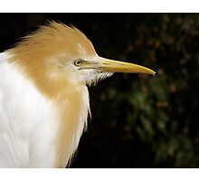 Cattle Egret. Photographic Print