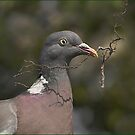 Nestbuilding Pigeon by SWEEPER