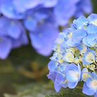 Hydrangea in June... by karink57