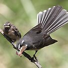Grey Fantail and chick ~ &quot;Lunch Has Arrived&quot;  by Robert Elliott