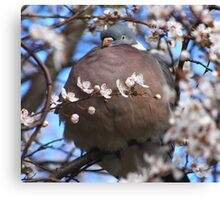 Cute puffed up wood pigeon Canvas Print