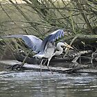 Heron's Breakfast - Verulamium Park - December 2014 by Samantha Creary