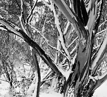 Snowgums in Snow BW by DavidsArt
