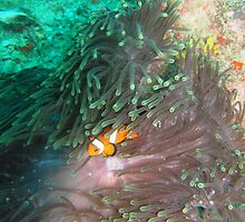 clown fish by MuscularTeeth