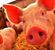 little piggy close up by nayamina