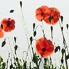 Poppies by geoff curtis