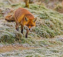 Frosty fox 2 by Dave  Knowles