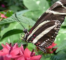 Zebra Longwing by mwfoster