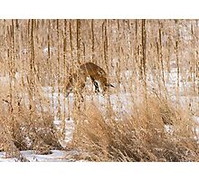 Red Fox Hunting Photographic Print