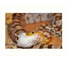 A Corn Snake Eating A Mouse Art Print