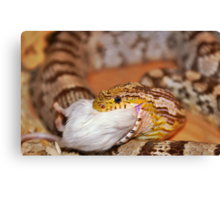 A Corn Snake Eating A Mouse Canvas Print