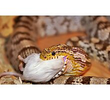 A Corn Snake Eating A Mouse Photographic Print