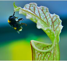 Macro - Bee Collecting Nectar From A Sarracenia & Hanging On For Dear Life Part 1 Photographic Print
