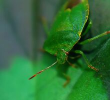 Macro - Leaf Bug by Joel Kempson