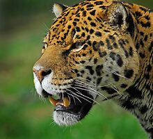 Jaguar by Peter Bland