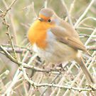 Sweet Little Robin Redbreast by qshaq