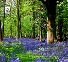 Bluebell Heaven by Jacktupp