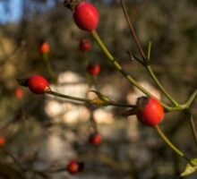 Red Berries in Winter Sticker