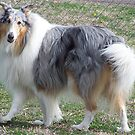 Handsome Collie by Glenna Walker