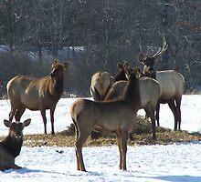 Livestock ~ Elk by RLHall