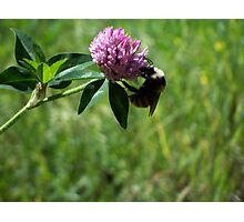 Fuzzy Bumble Photographic Print
