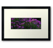 HDR Composite - Flox or Phlox a Lovely Flower Garden Framed Print
