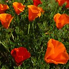 California Poppies by Karin  Hildebrand Lau