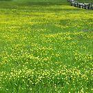 Field of Buttercups by Karin  Hildebrand Lau