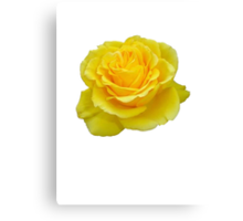 Beautiful Yellow Rose Closeup Isolated On White Canvas Print