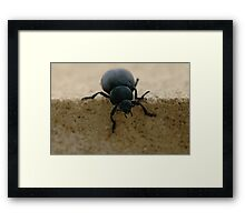 black insect calosoma Framed Print