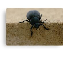 black insect calosoma Canvas Print