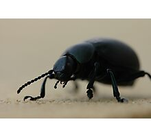 black calosoma beetle Photographic Print