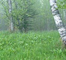 Silent Birch by Bill Morgenstern