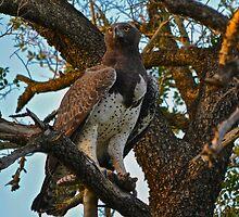 Martial Eagle (Polemaetus bellicosus) by Deborah V Townsend