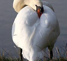 Sleepy Swan by Tim Jones