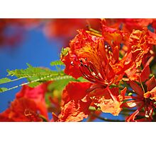 Red Flamboyant Flowers  Photographic Print
