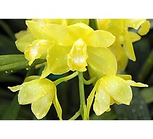 Pale Yellow Orchids Photographic Print