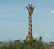 Girafe! by David H