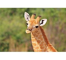 Giraffe - African Wildlife - Innocence is Adorable Photographic Print