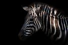 Zebra by Johnny Furlotte