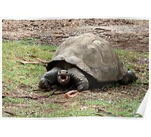 Galapagus Turtle Poster