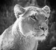 Lioness by Nathan T