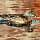Wood Duck hen in colored water by Eivor Kuchta