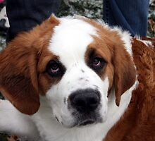 St. Bernard Puppy by Johnny Furlotte