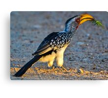 Yellow-Billed Hornbill with Lunch (Tockus leucomelas) Canvas Print