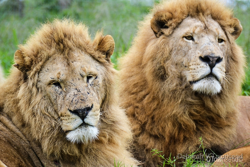 Taking care of Scarface (Panthera leo) by Deborah V Townsend