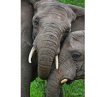 """""""Just Married"""" (Loxodonta africana) Photographic Print"""