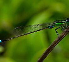Damselfly, March Bluetail. (Ischnura senegalensis) by Deborah V Townsend